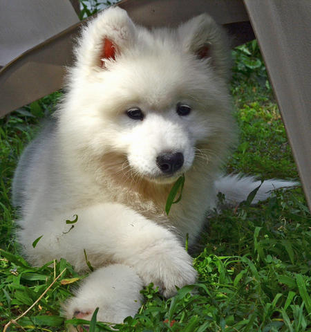 Parker the Samoyed Pictures 1022671