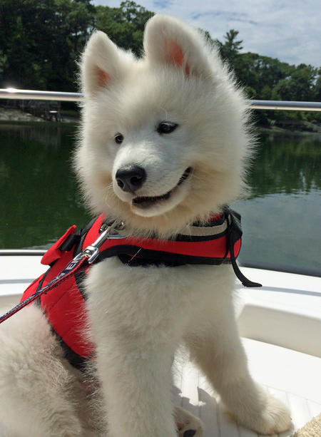 Parker the Samoyed Pictures 1022672