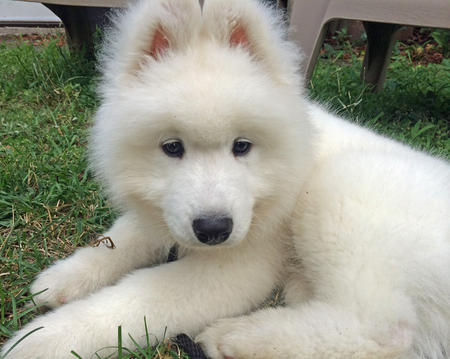 Parker the Samoyed Pictures 1022676