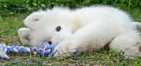 Parker the Samoyed Pictures 1022677