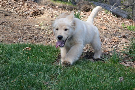 Patton the Golden Retriever Pictures 970249