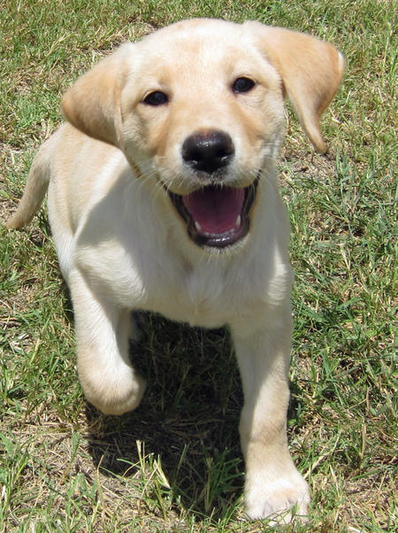 Patty the Labrador Retriever Pictures 635903