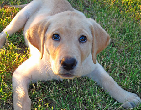 Patty the Labrador Retriever Pictures 635906