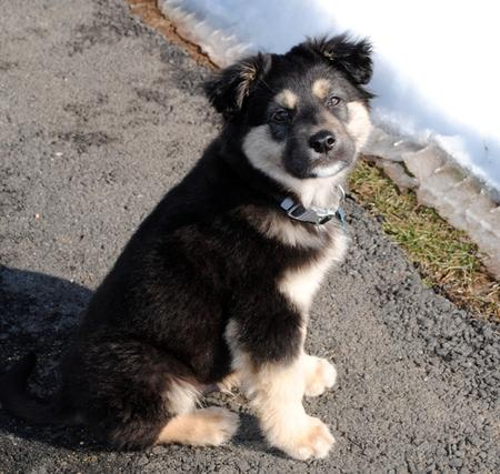 Paxton the Australian Shepherd Mix Pictures 556336