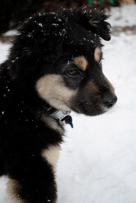 Paxton the Australian Shepherd Mix Pictures 556337