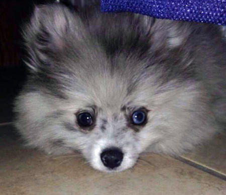 Paxton the Pomeranian Pictures 1015941