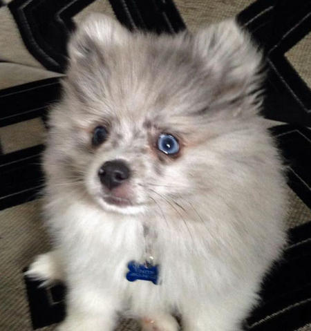 Paxton the Pomeranian Pictures 1015943