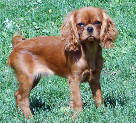 Payton the Cavalier King Charles Spaniel Pictures 683442