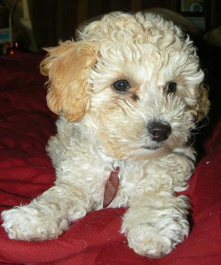 Peaches the Poodle Mix Pictures 999784