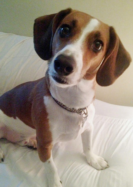 Peanut the Basset Hound Mix Pictures 1015190