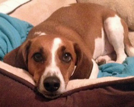 Peanut the Basset Hound Mix Pictures 1015191