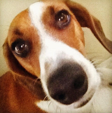 Peanut the Basset Hound Mix Pictures 1015192