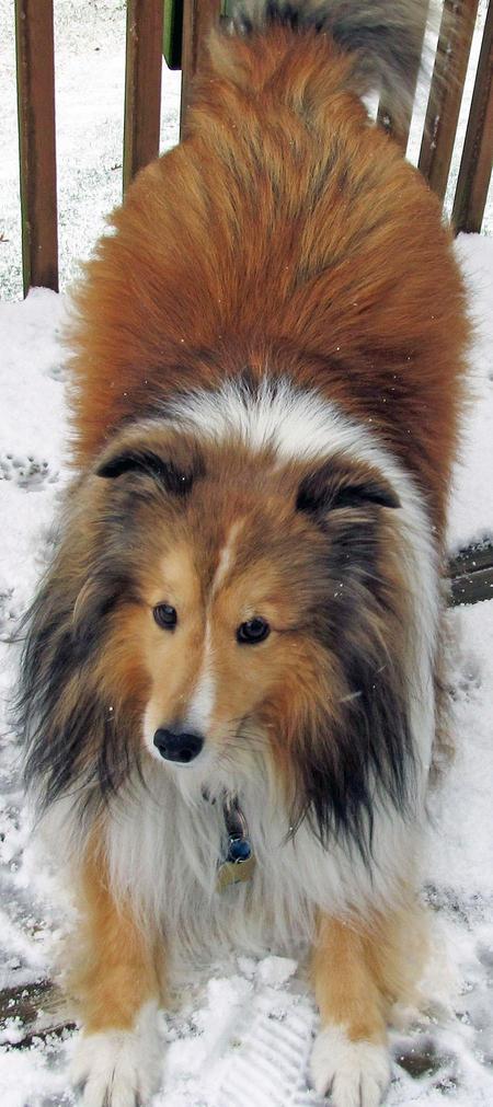 Peanut the Shetland Sheepdog Pictures 1050992