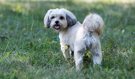 Peggy Sue the Maltese Mix Pictures 956095