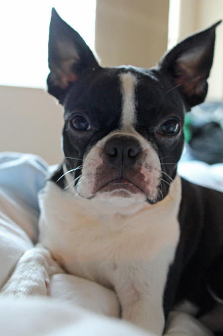 Peggy the Boston Terrier Pictures 1004665