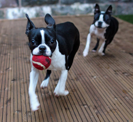 Peggy the Boston Terrier Pictures 1004667