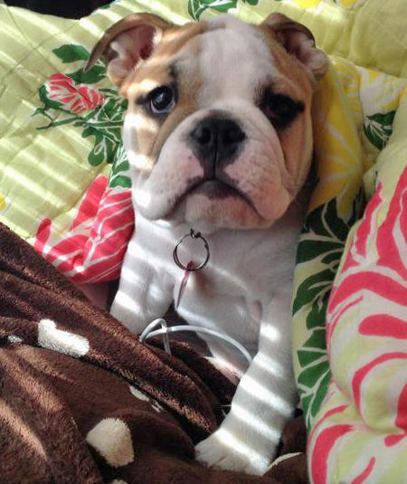 Penelope the Bulldog Pictures 1048408