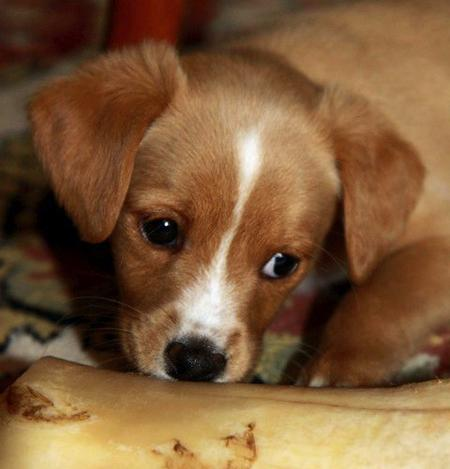 Penelope the Jack Russell Mix | Puppies | Daily Puppy