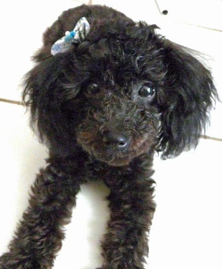 Penelope the Poodle Pictures 824114