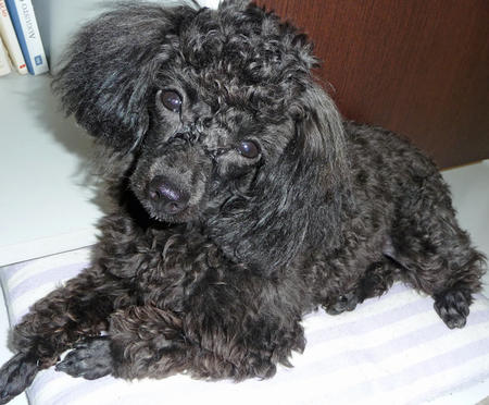 Penelope the Poodle Pictures 824116