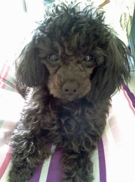 Penelope the Poodle Pictures 824113