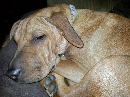 Penelope the Shar Pei Mix Pictures 995269