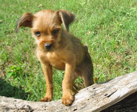 Penney the Adoptable Brussels Griffon Mix Pictures 902613