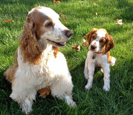 Penny Lane the Welsh Springer Spaniel Pictures 927088