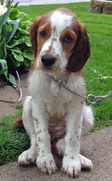 Penny Lane the Welsh Springer Spaniel Pictures 927092