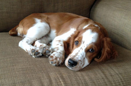 Penny Lane the Welsh Springer Spaniel Pictures 927087
