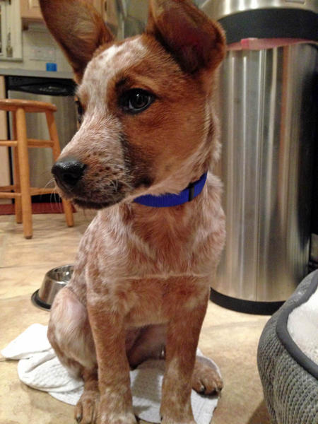 Penny the Australian Cattle Dog Mix Pictures 1003325