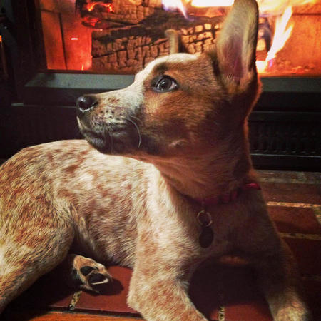 Penny the Australian Cattle Dog Mix Pictures 1003326