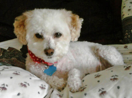 Penny the Bichon Frise Mix Pictures 978585