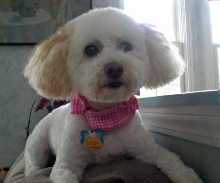 Penny the Bichon Frise Mix Pictures 978584
