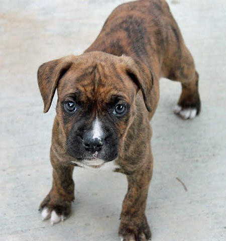 Penny the Boxer Mix Pictures 660647