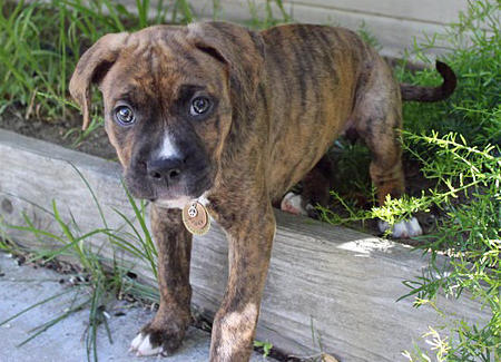 Penny the Boxer Mix Pictures 660641