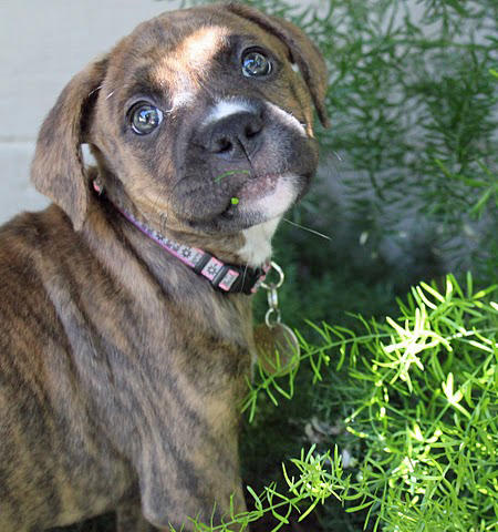 Penny the Boxer Mix Pictures 660642