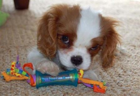Penny the Cavalier King Charles Spaniel Pictures 1032308