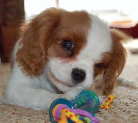 Penny the Cavalier King Charles Spaniel Pictures 1032309