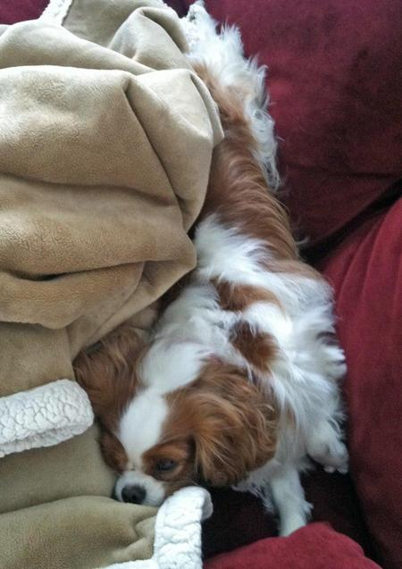 Penny the Cavalier King Charles Spaniel Pictures 952427