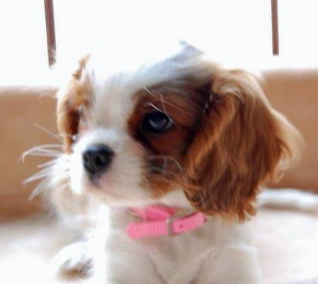 Penny the Cavalier King Charles Spaniel Pictures 1032311