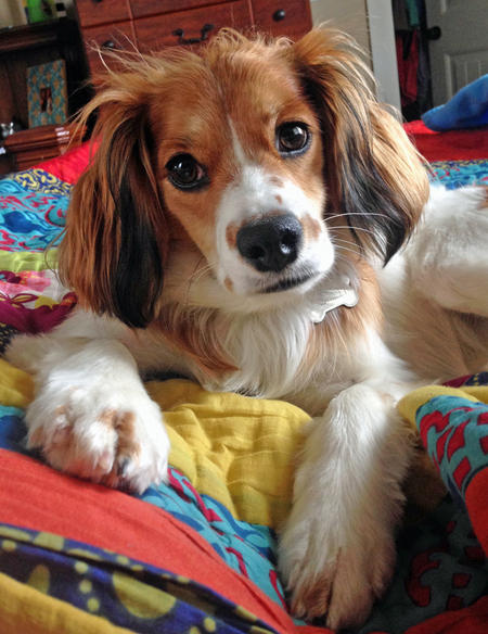 Penny the Cavalier King Charles Spaniel Mix Pictures 1018152