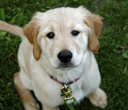 Penny the Golden Retriever Pictures 604751