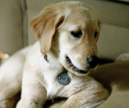 Penny the Golden Retriever Pictures 604755