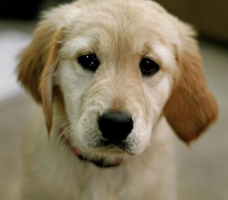 Penny the Labrador Retriever Pictures 628281