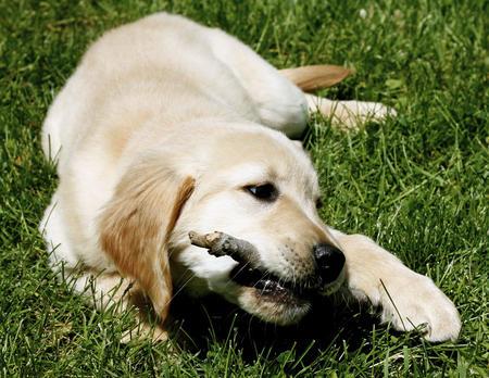 Penny the Labrador Retriever Pictures 628284