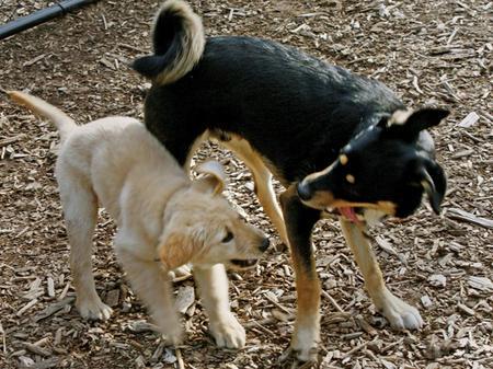 Penny the Labrador Retriever Pictures 628287