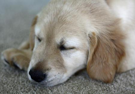 Penny the Labrador Retriever Pictures 628283
