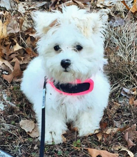 Penny the Maltese Mix Pictures 1058257