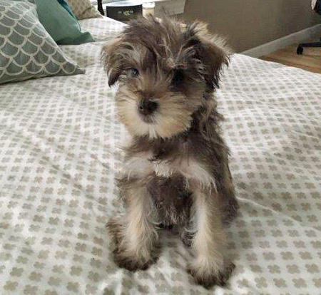 Penny the Miniature Schnauzer Pictures 1047942